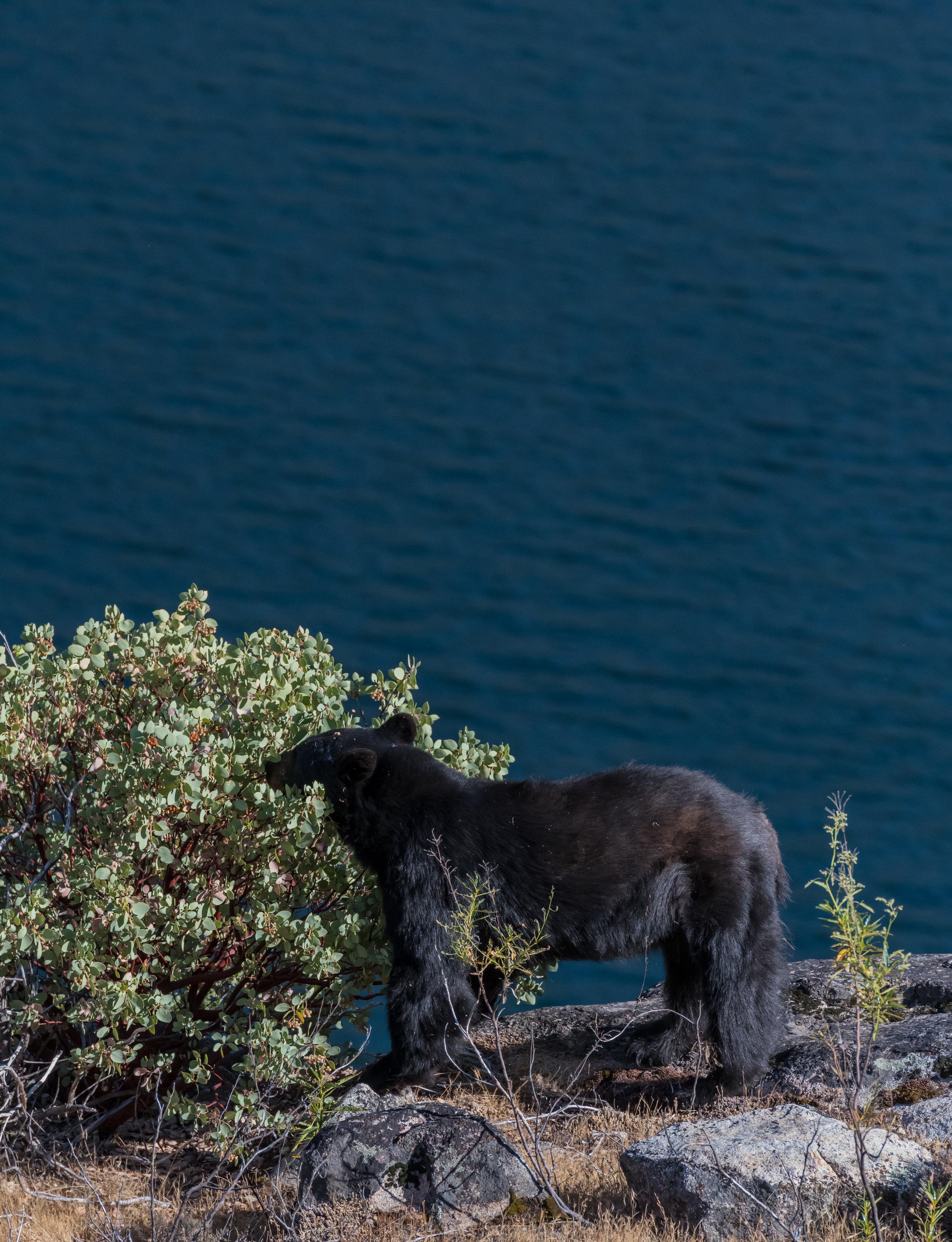 Black Bear Munches on Berries Along Hetch Hetchy