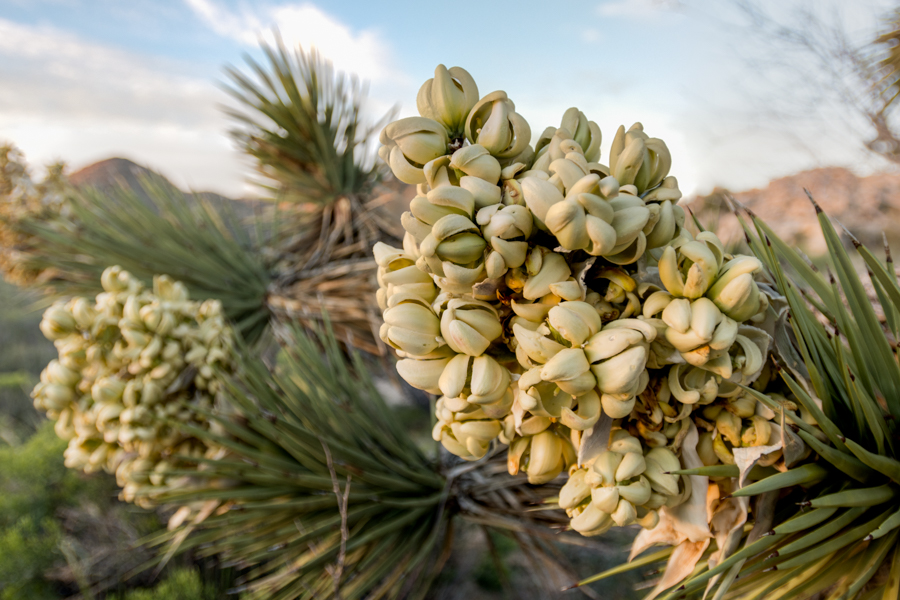 Blooms on Joshua Tree in Wet Spring