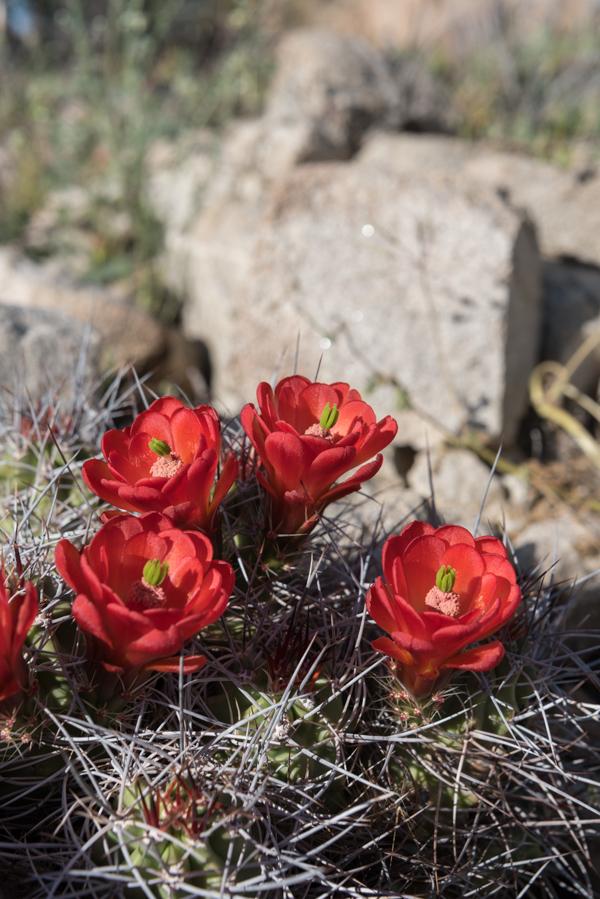 Four Claret Cup Cactus wedged in Desert Rocks
