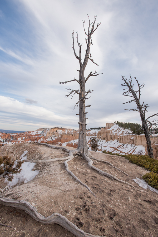 Grayed Dead Tree with Eroded Soil Showing Roots
