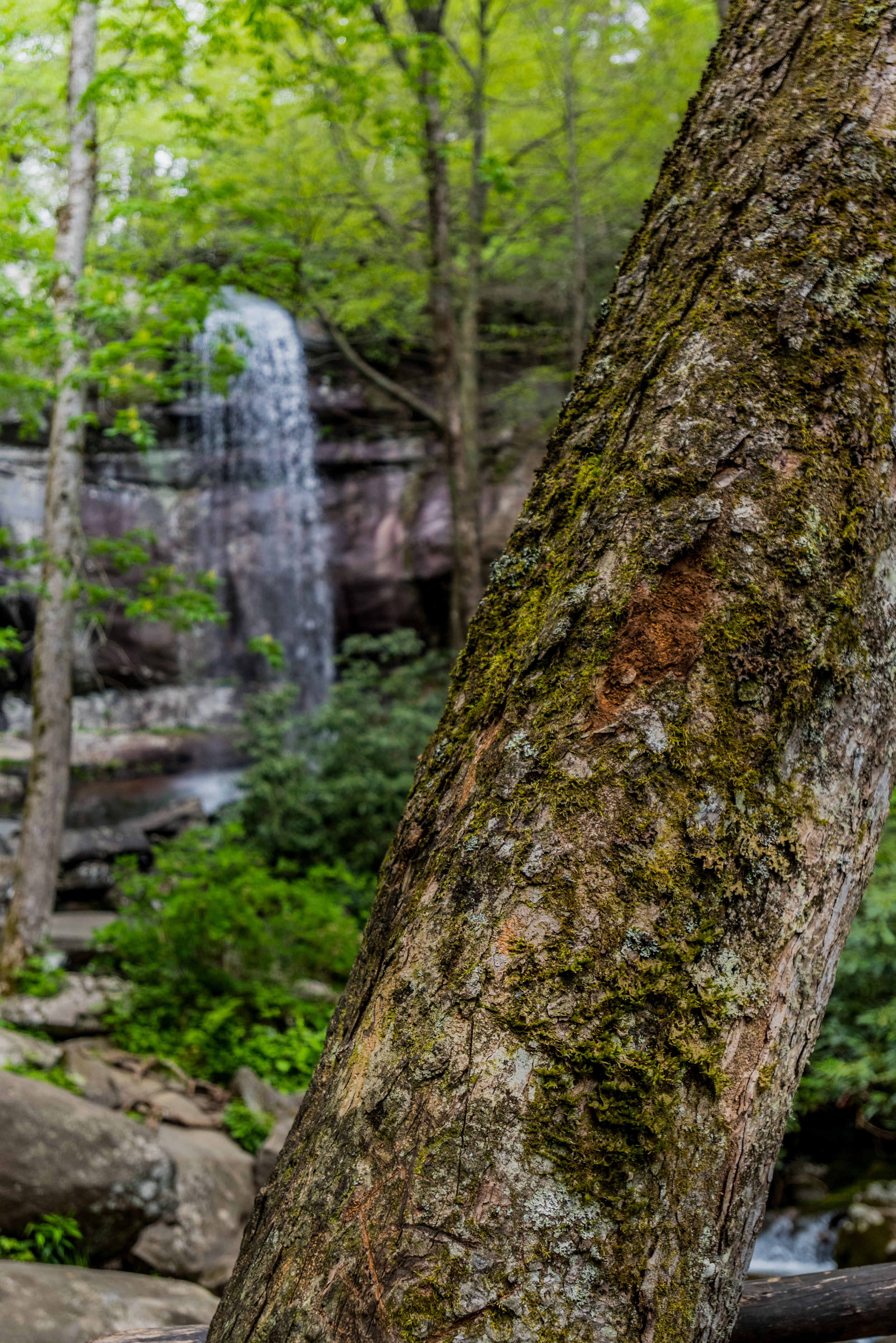 Moss Covered Tree with Rainbow Falls in Background