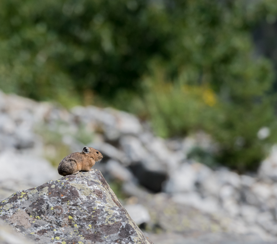 Profile of Pika on Rock