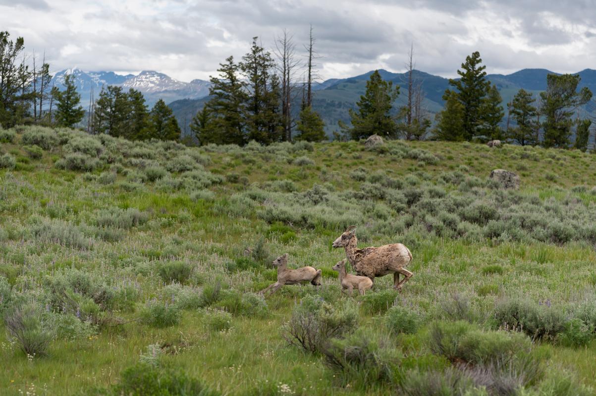 Lambs Run With Mother Bighorn Sheep
