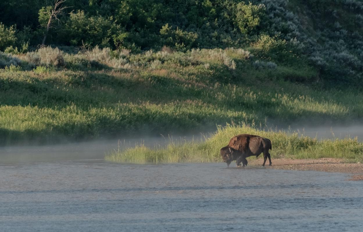 Bison Walks Across Small Island in Little Missouri River