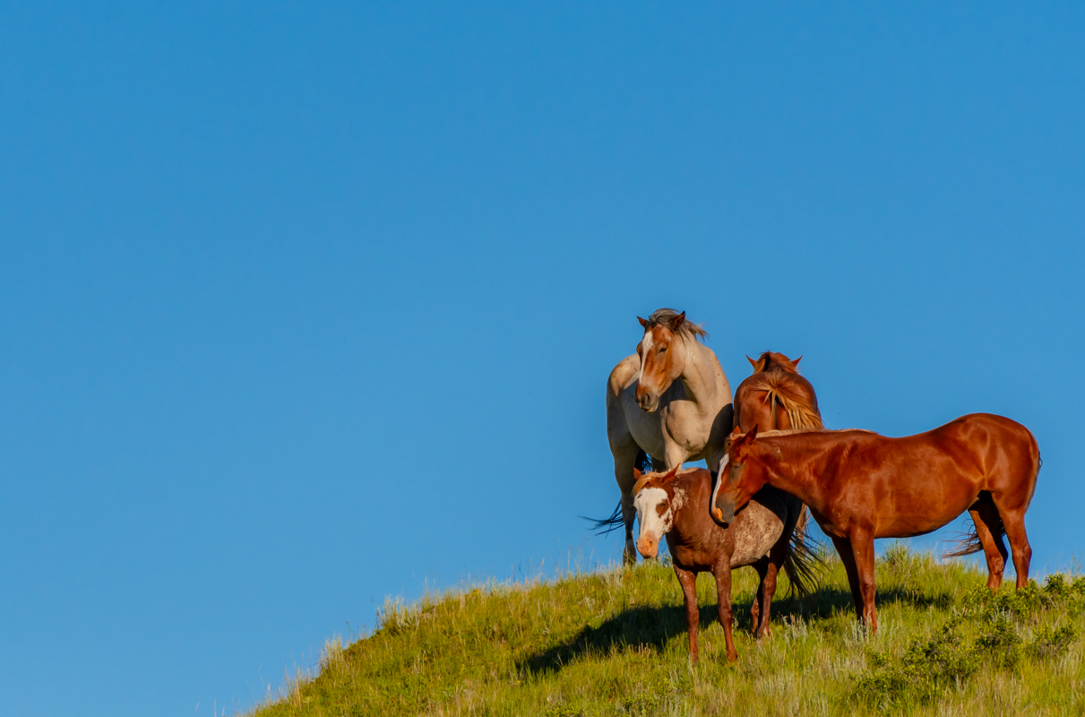 Four Wild Horses Stand Atop Grassy Hill