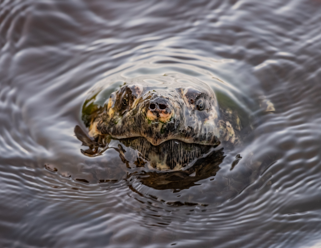 Water Ripples As Snapping Turtle Breaks The Surface