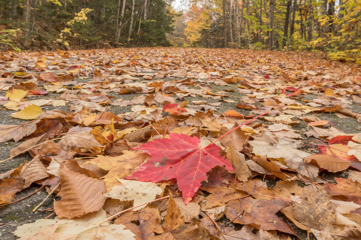 Red Leaf and Leaves Scattered Across Wide Trail