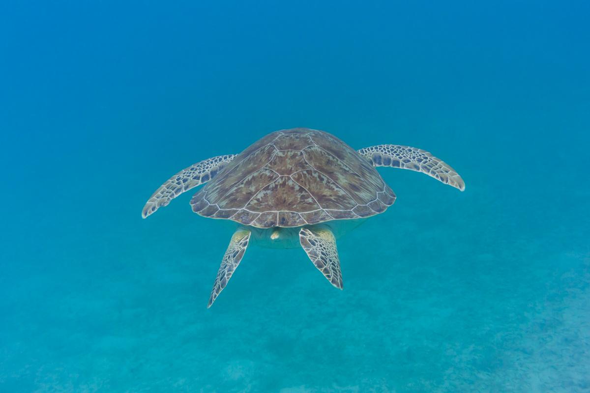 Green Sea Turtle in Caribbean Waters