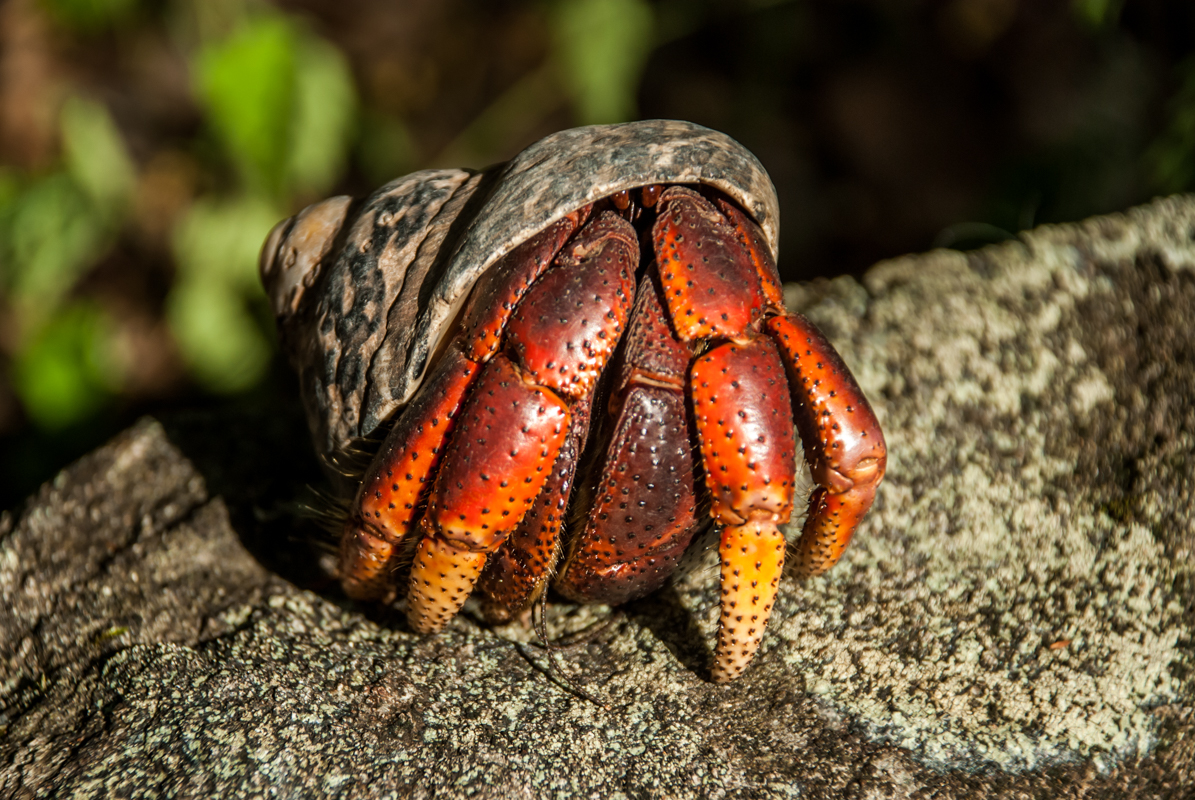 Soldier crab peeking out of shell.jpg