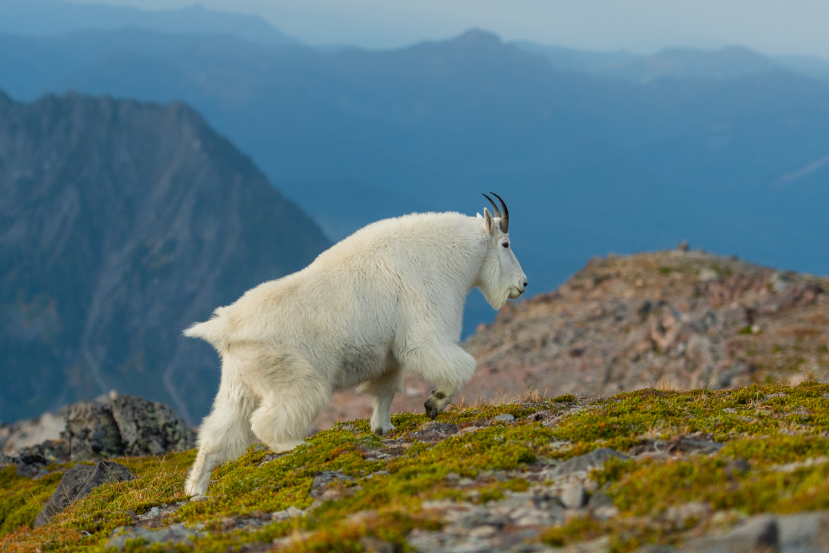 Profile of Mountain Goat in Alpine Meadow