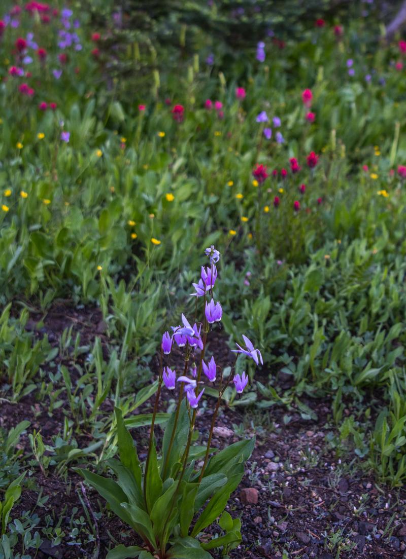 Purple Alpine Shooting Stars
