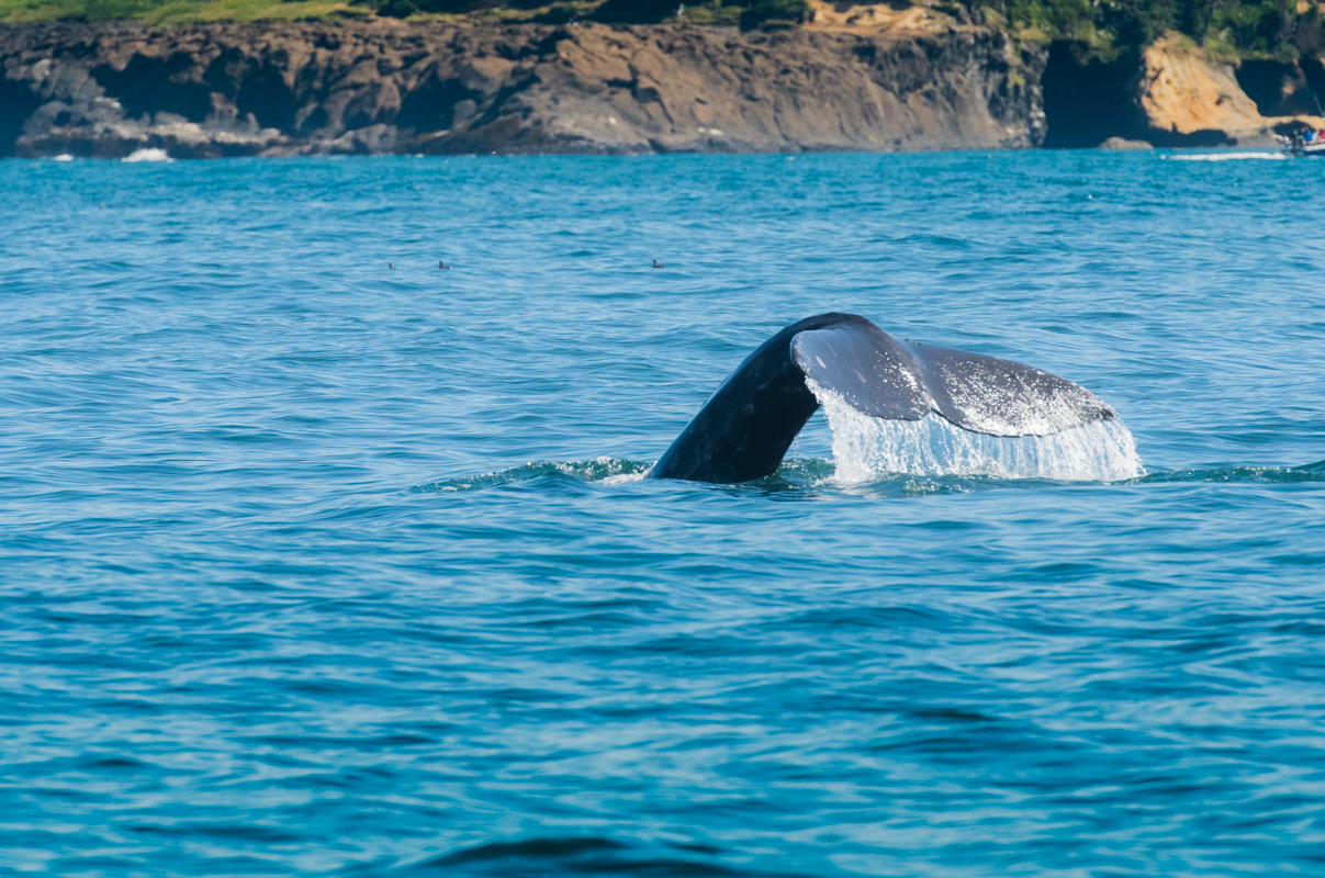 Water Drips off Whale Tail