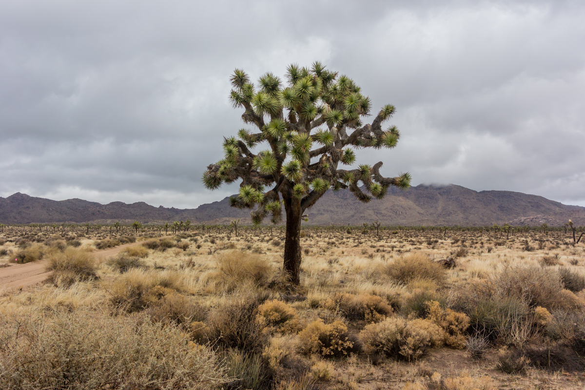 Joshua Tree on Stormy Day
