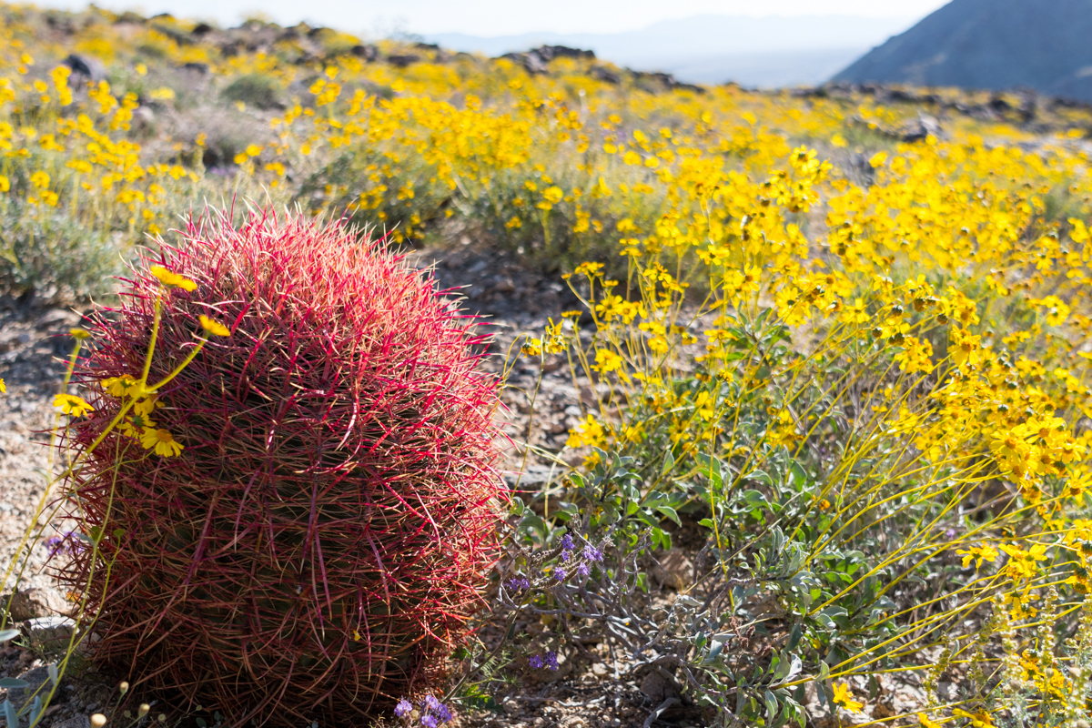 California Barrel Cactus Stands Along Among BrittleBrush