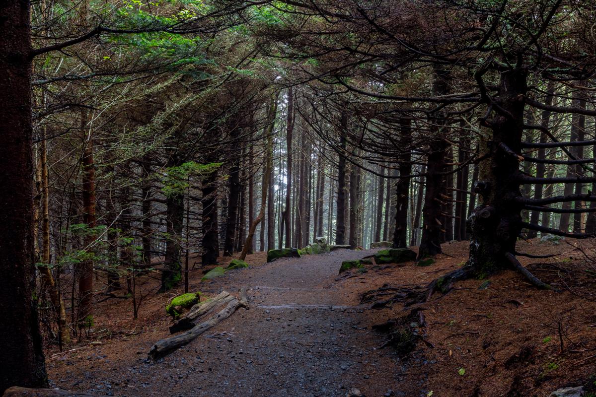Gravel Trail Cuts Through Dense Pine Forest