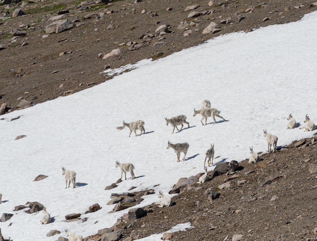 Mountain Goat Herd on Snow Across Rocky Mountain