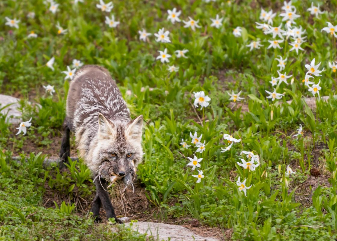 Red Cascades Fox Carries Fresh Kill