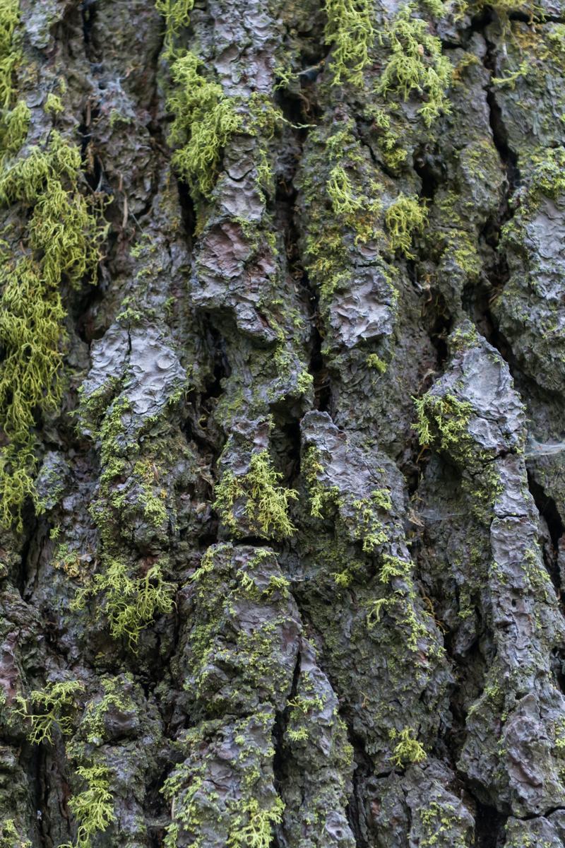 Moss Growing on Redwood Bark
