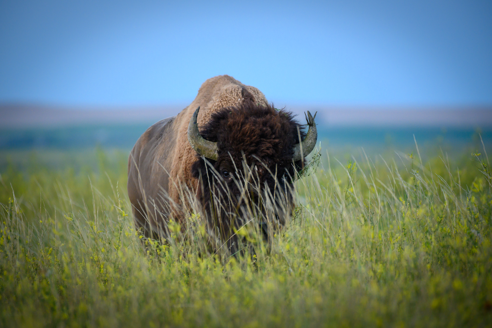 Blades of Grass in Front of Bison Face