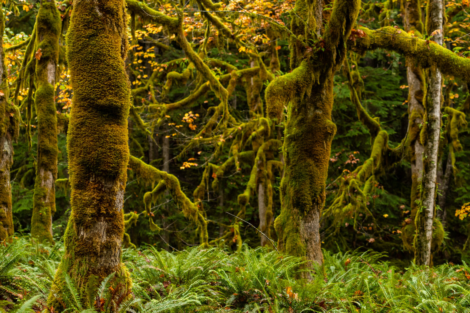 Thick Moss on Sitka Trees with Ferns