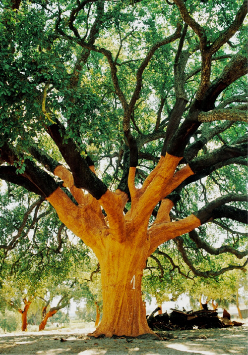 Whistler Cork Tree, Portugal | Has corked millions of wine bottles to date