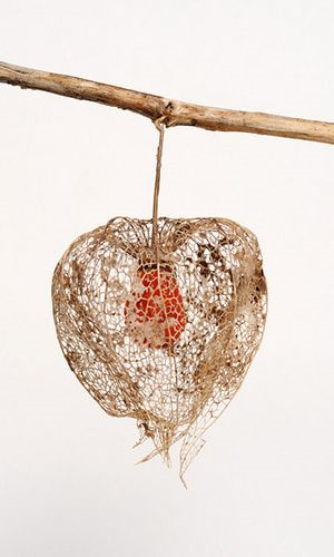 Photography: Unknown | Chinese Lantern Seed Pod