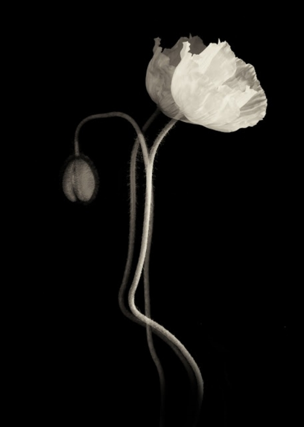 Photography: Linda Morrow; Luminous Bloom