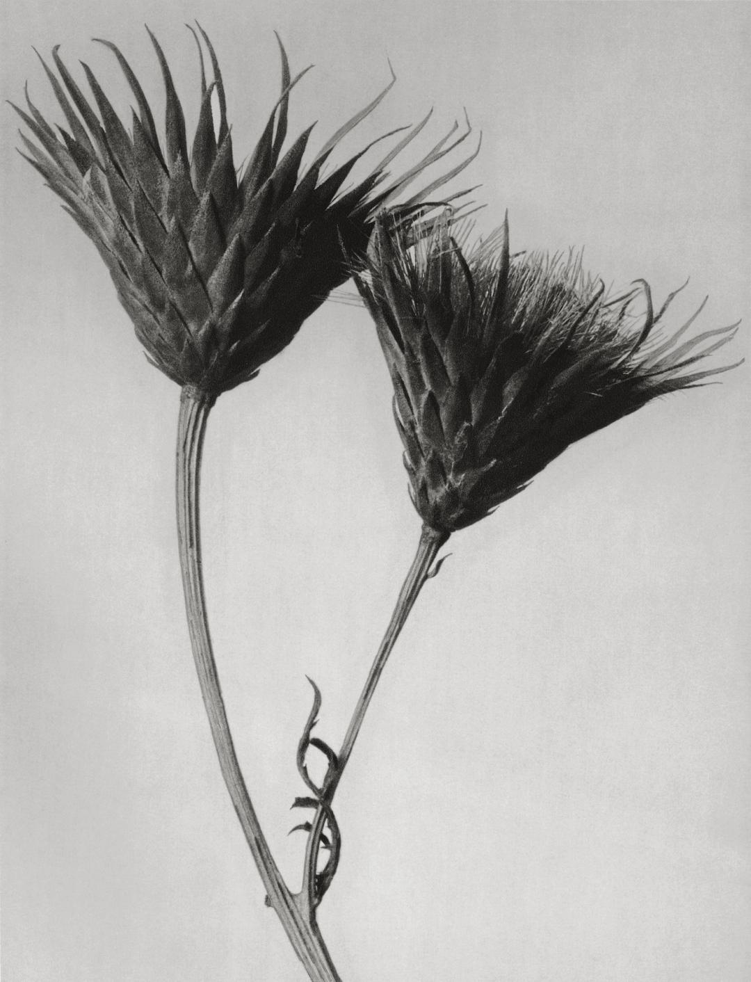Magnifying the Alien beauty of Plants Karl Blossfeldt.jpg