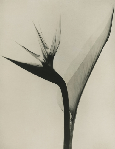 Dr. Tasker Flower x-ray revealing the phantasmagorical composition of flowers.jpg