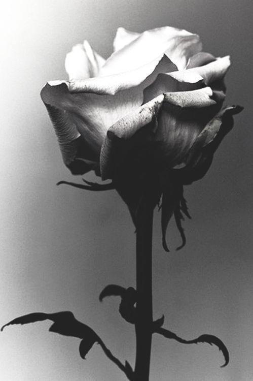 0886c76904b10744e9b60eca60ec0a67--rose-photography-photography-ideas.jpg