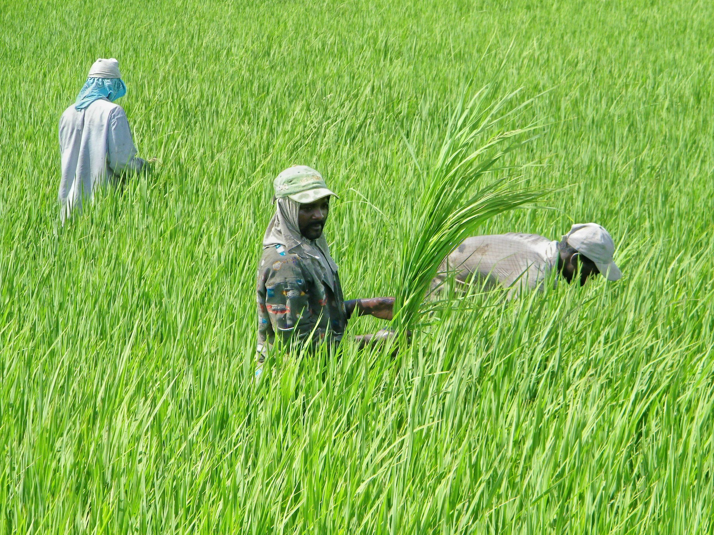 Handweeding Rice Monte Cristi.jpg