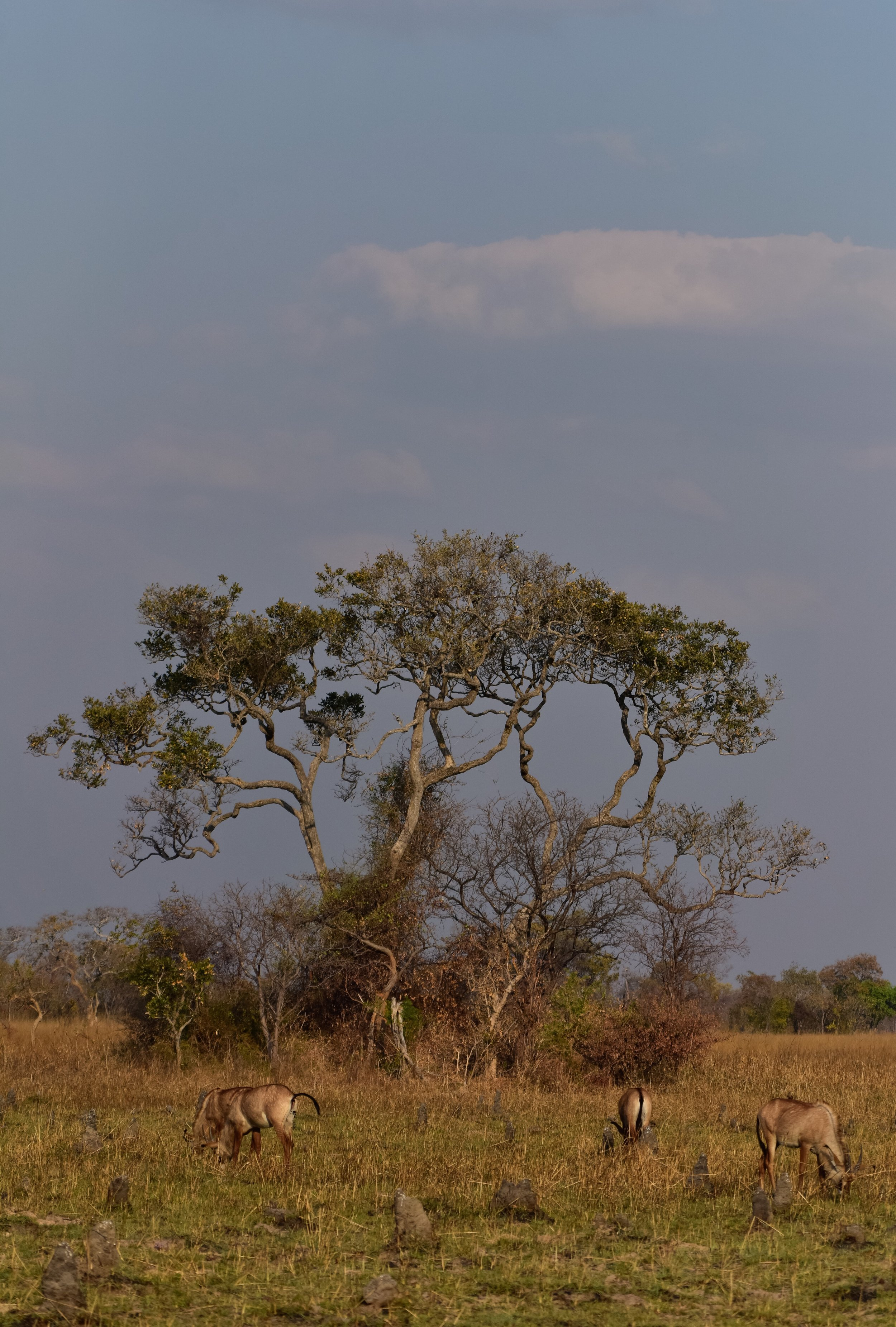 See those rock-like formations? Those are termite mounds. And the tree in the back is actually an island when the plains flood during the rainy season.