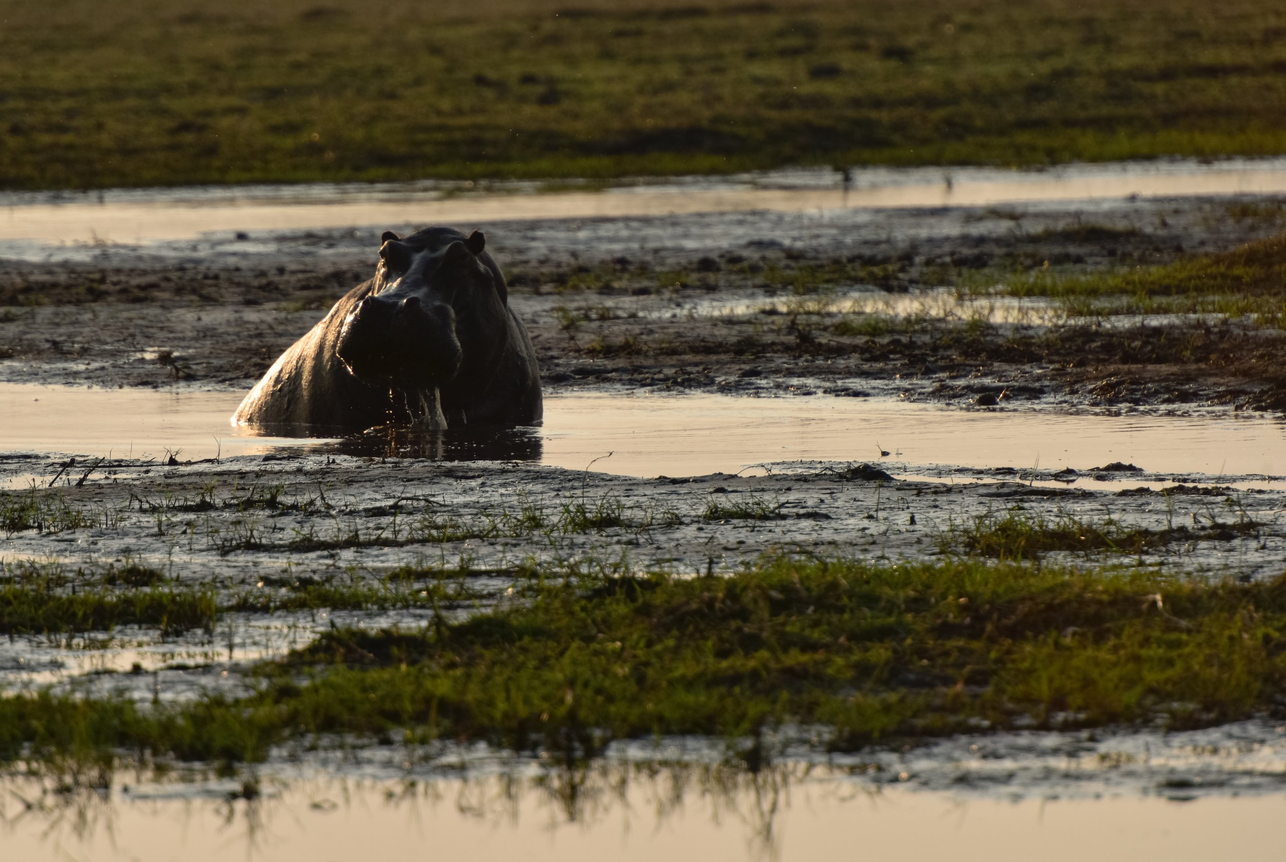 Hippos are hard to photograph.