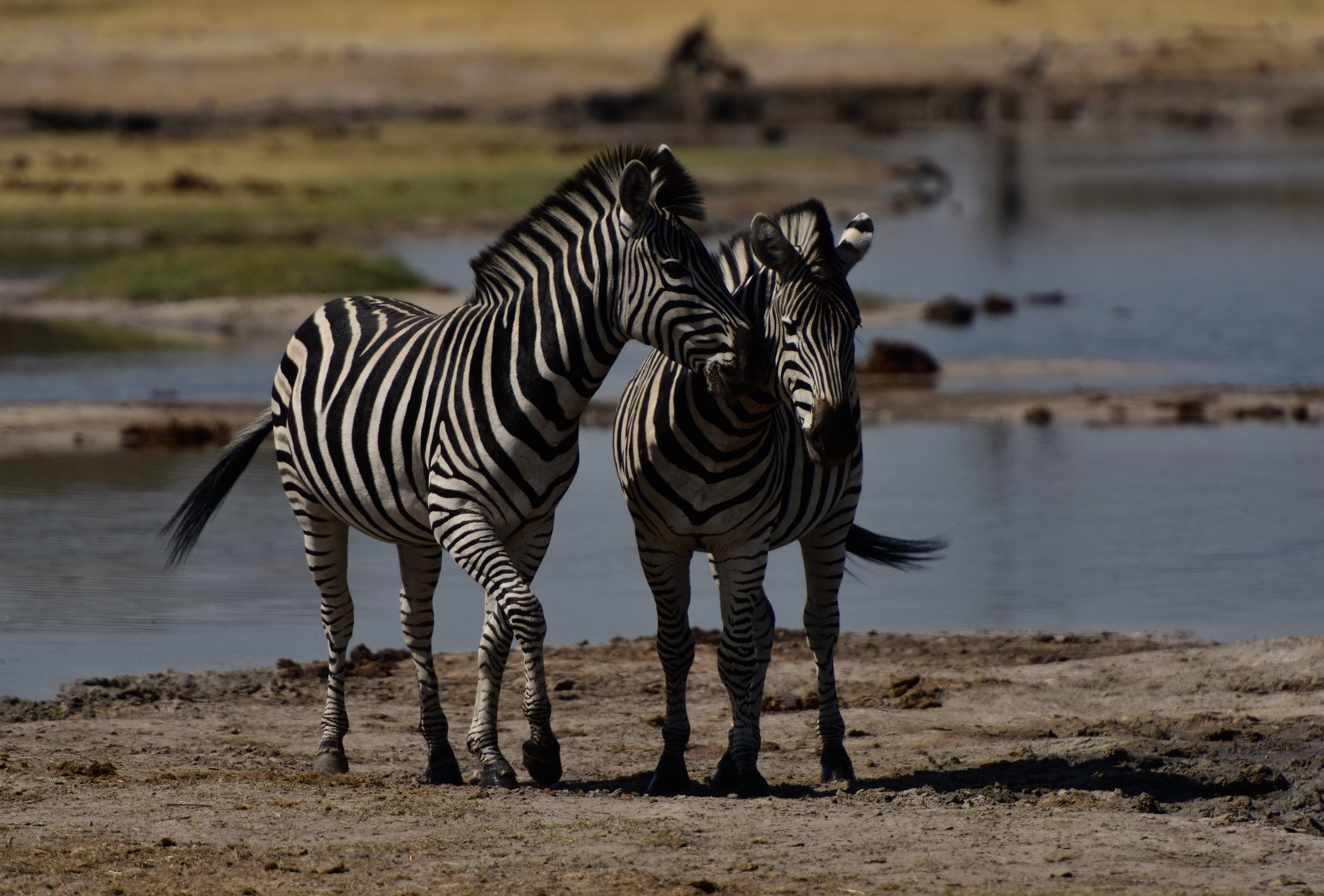 Zebras in love.