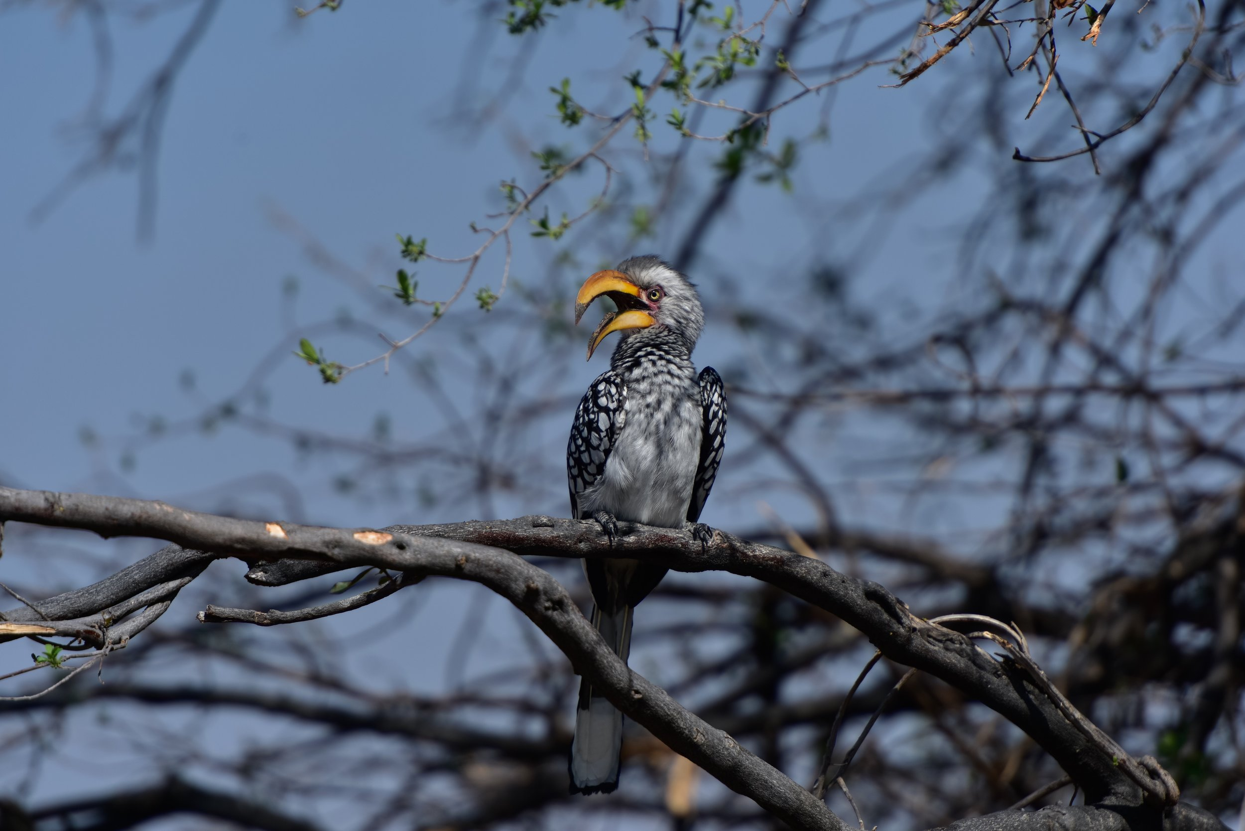 A horn-billed something or other. Or as I like like to call him, Angry Bird.