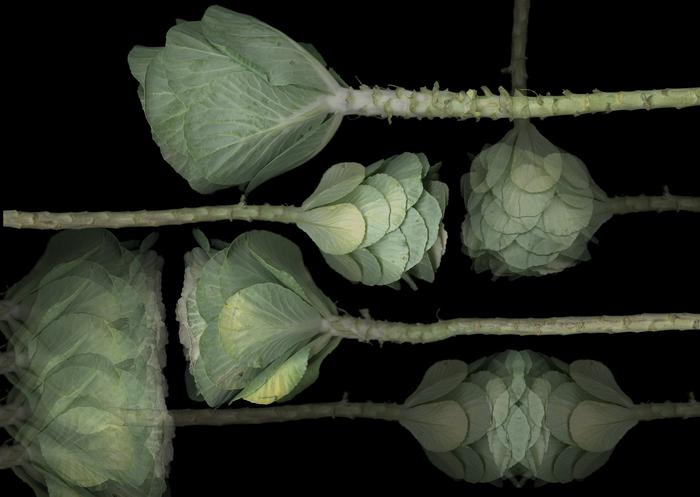 """Elizabeth Panzer   - """" Cabbage Op.5 """"   (30""""x 21"""")  $1250"""