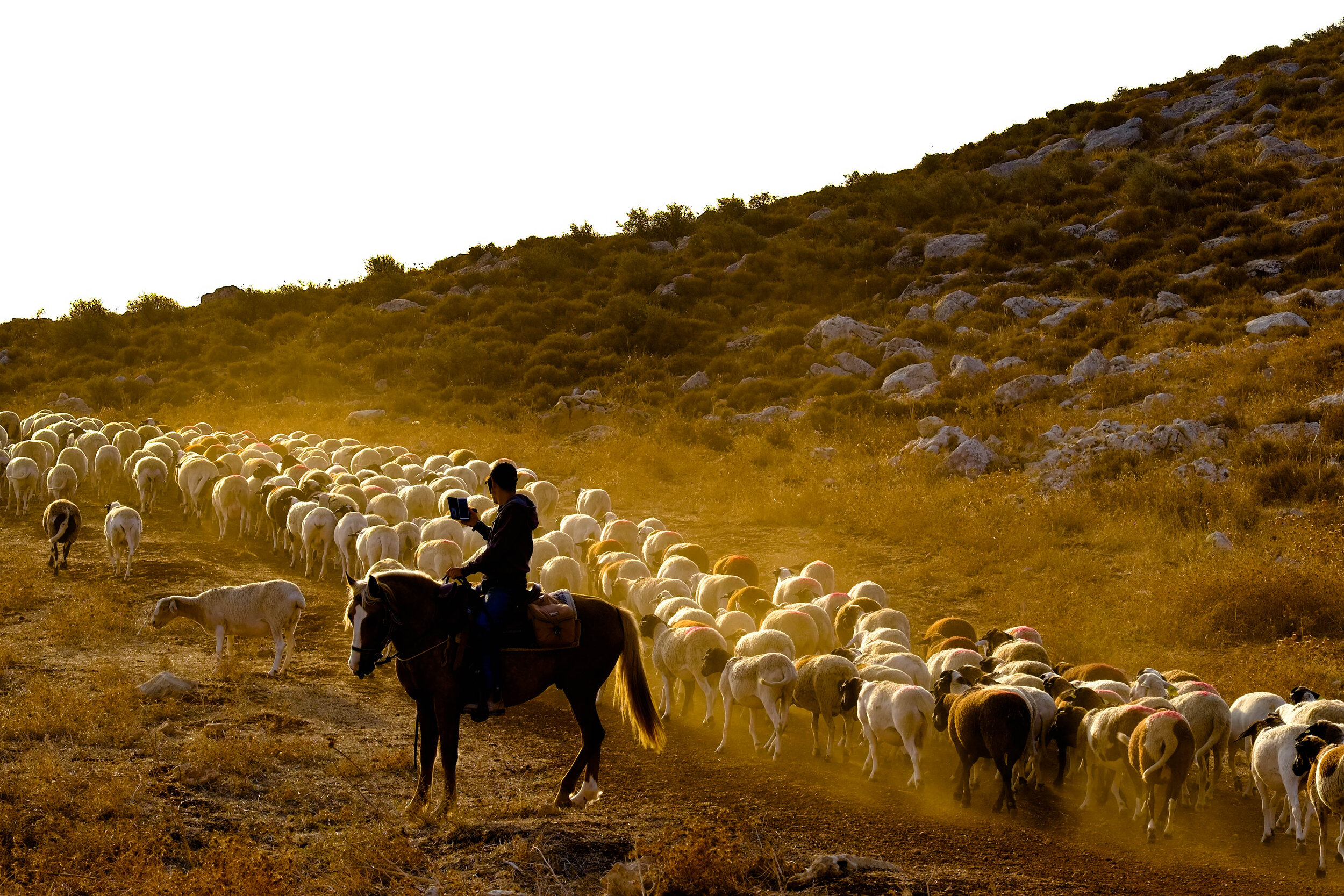 """settler youth from the illegal outpost """"Angels of Peach"""" (sic) with his white sheep. Keeping herds of sheep enable the settlers to occupy more and more land and drive away the Palestinians"""