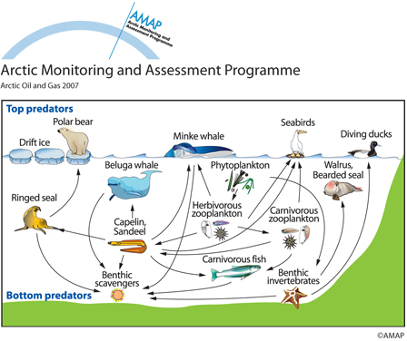 Figure 2: Simplified Barent Sea food-web The Arctic Monitoring and Assessment Program (AMAP) 'Arctic Oil and Gas 2007'