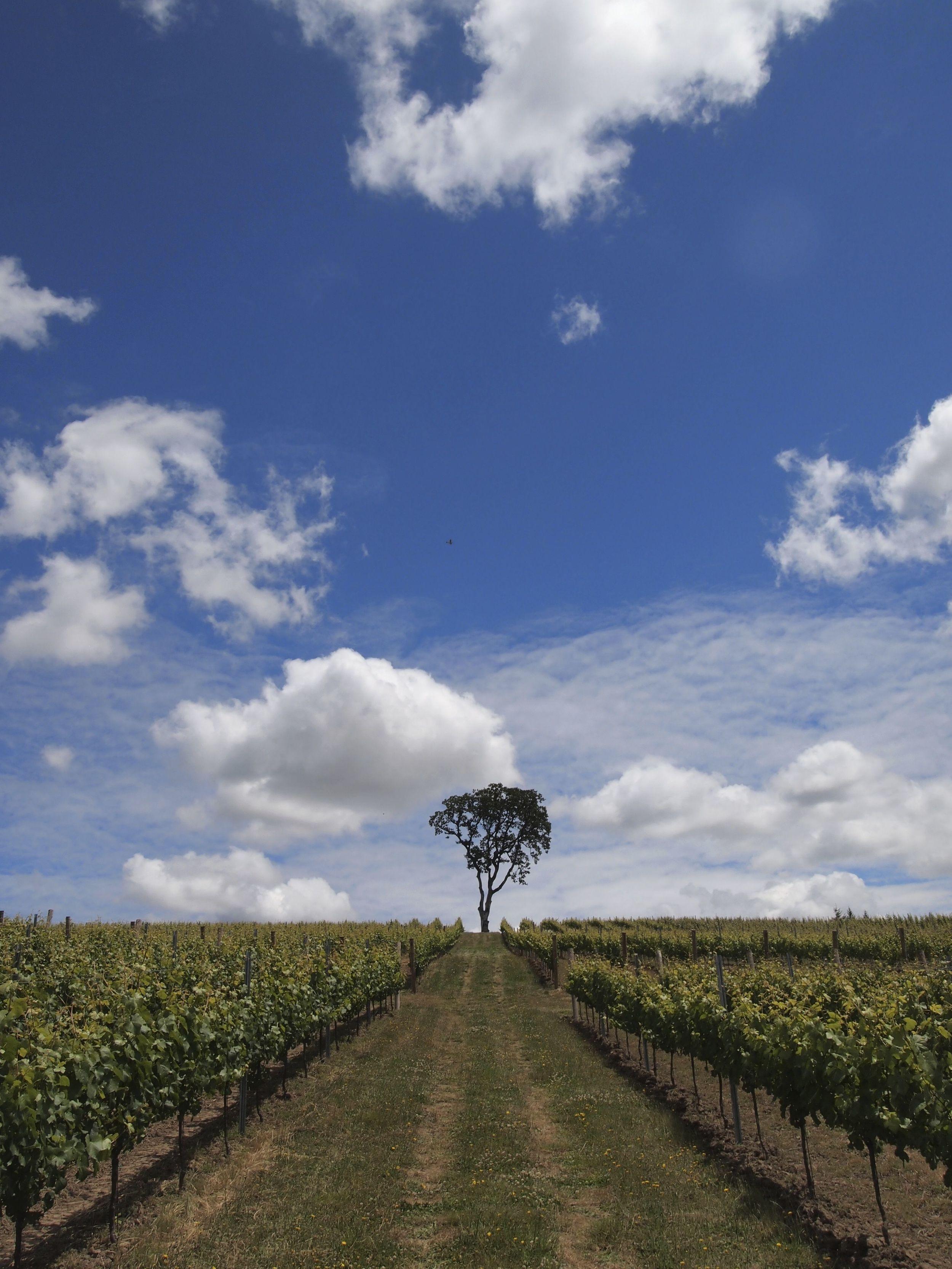 Erratic Oaks Vineyard belonging to Firesteed