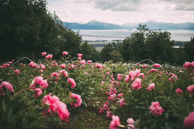 The view from the peony fields at Scenic Place Peonies' Homer, Alaska flower farm.  Photo by  Joshua Veldstra Photography