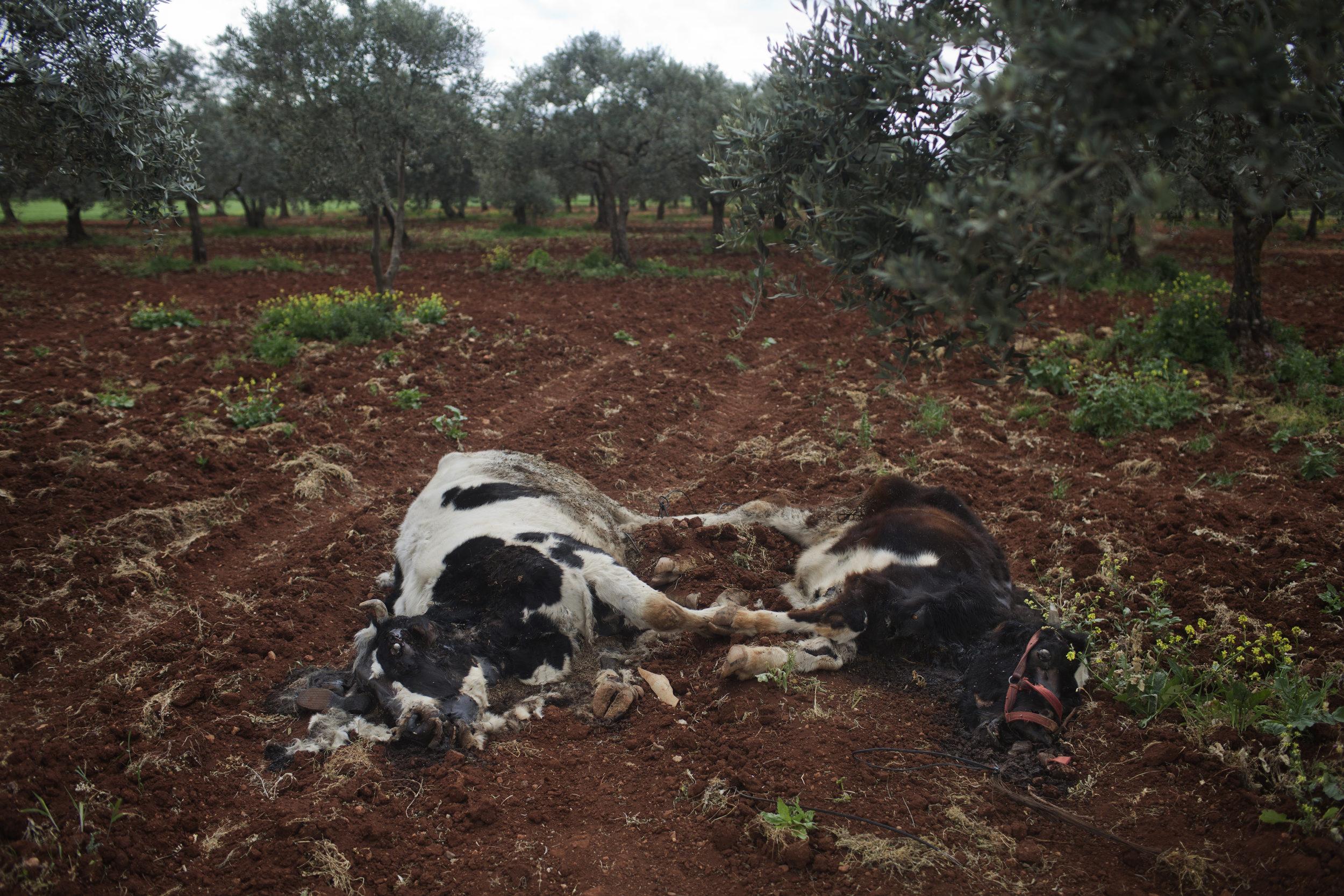 Livestock, shot down in the assault.