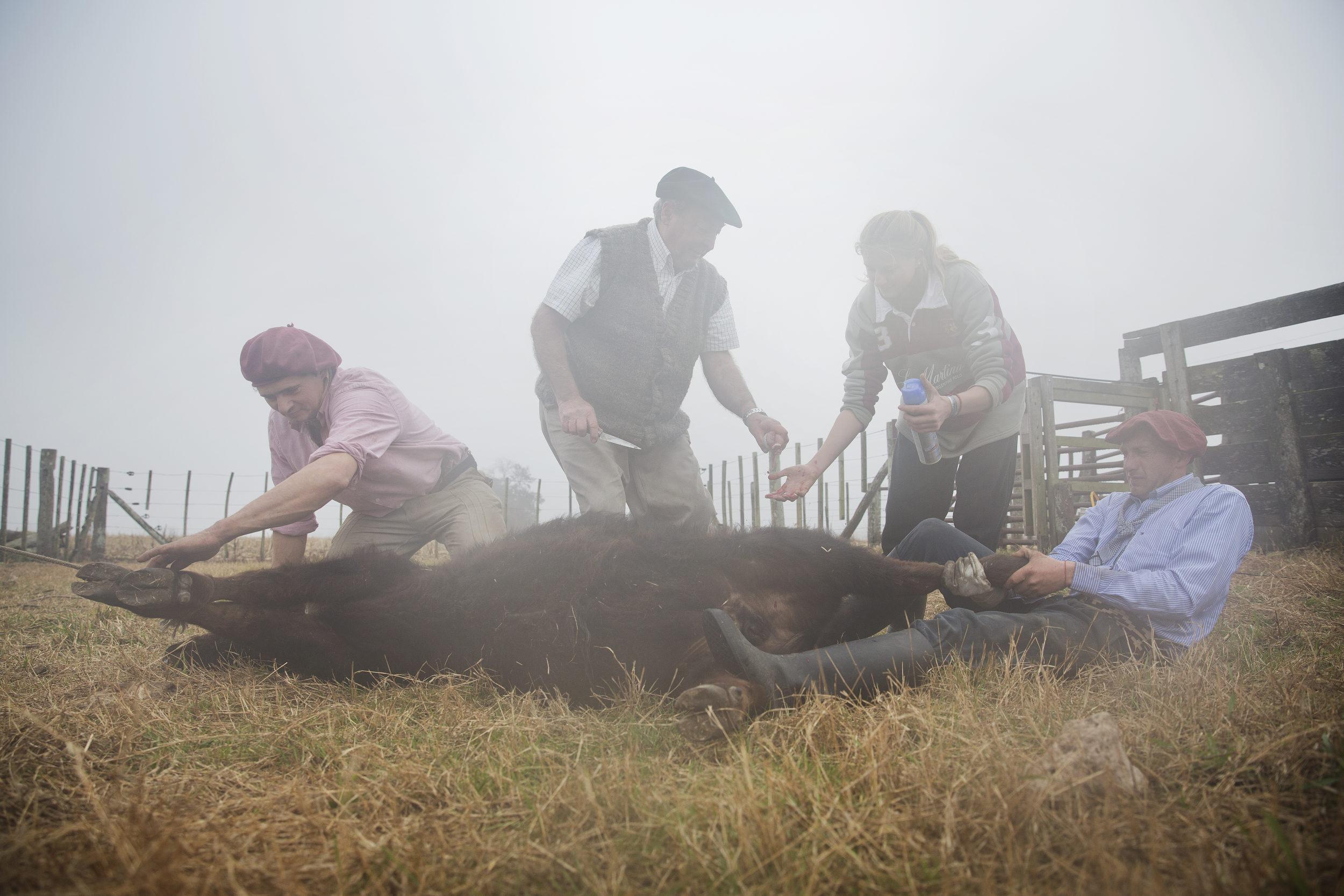 Castrating calves.