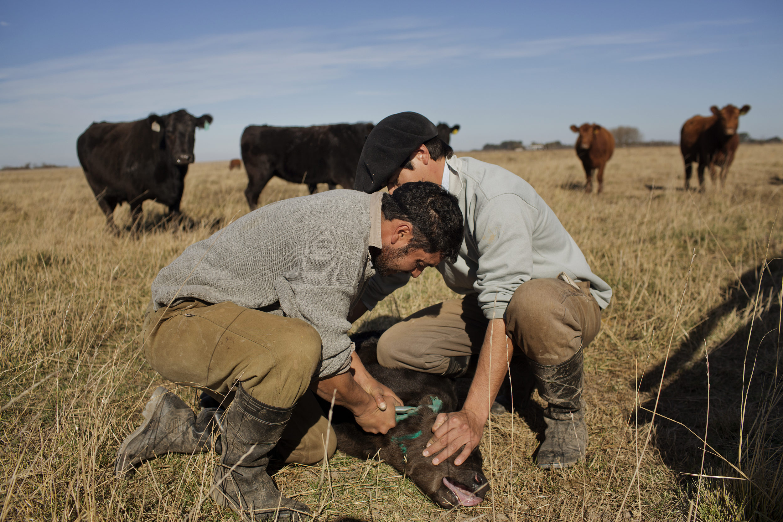 Daniel and Pablo hold down a newborn calf and stamp it's ear.