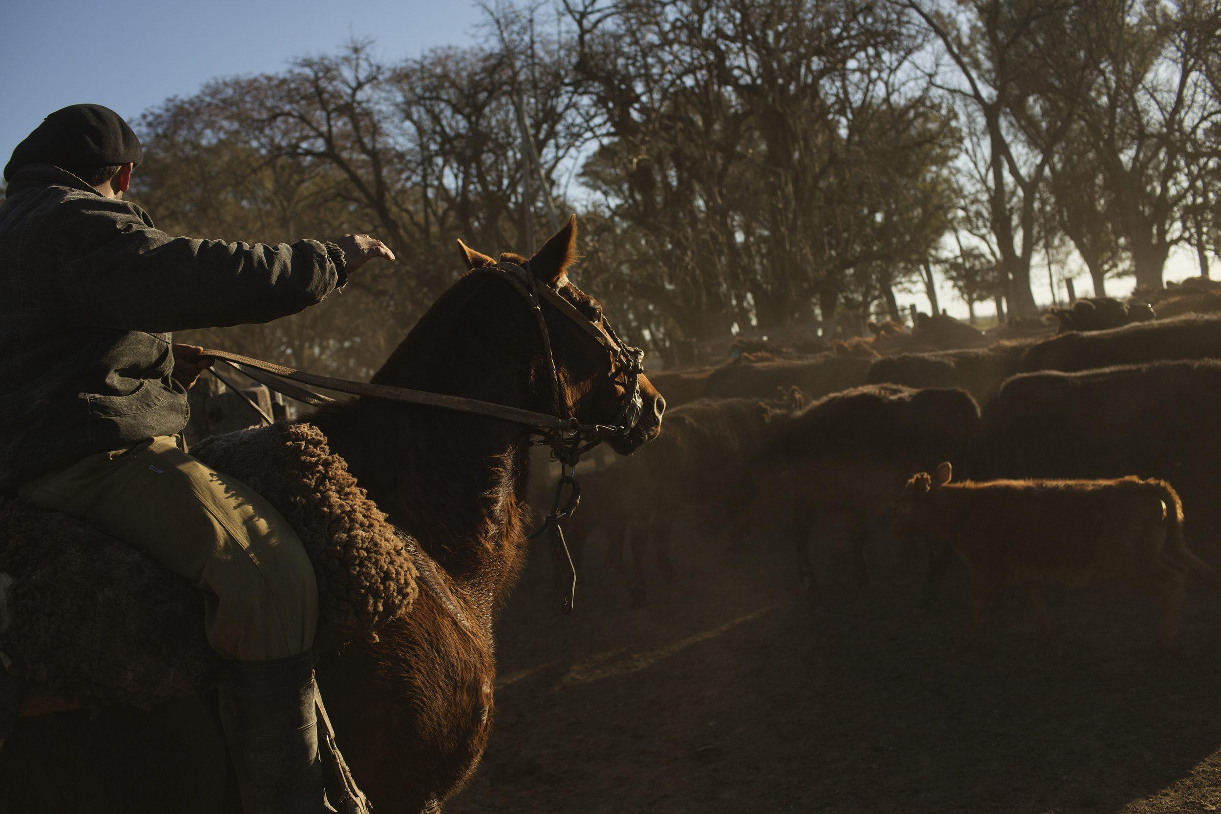 Daniel herds cattle on horseback.
