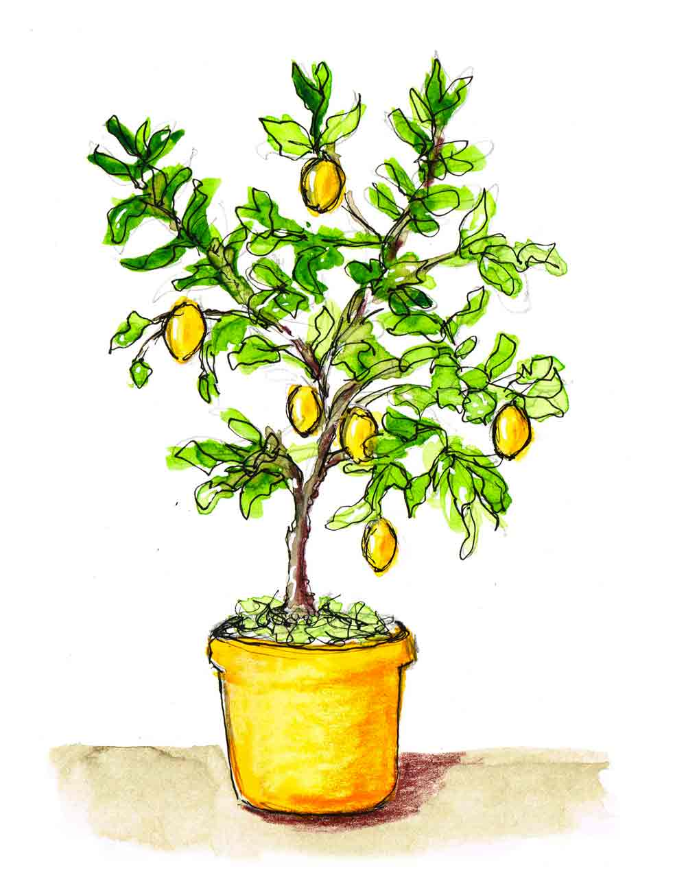 Lemon-Tree-Plants-in-pots-no-4-kw.jpg