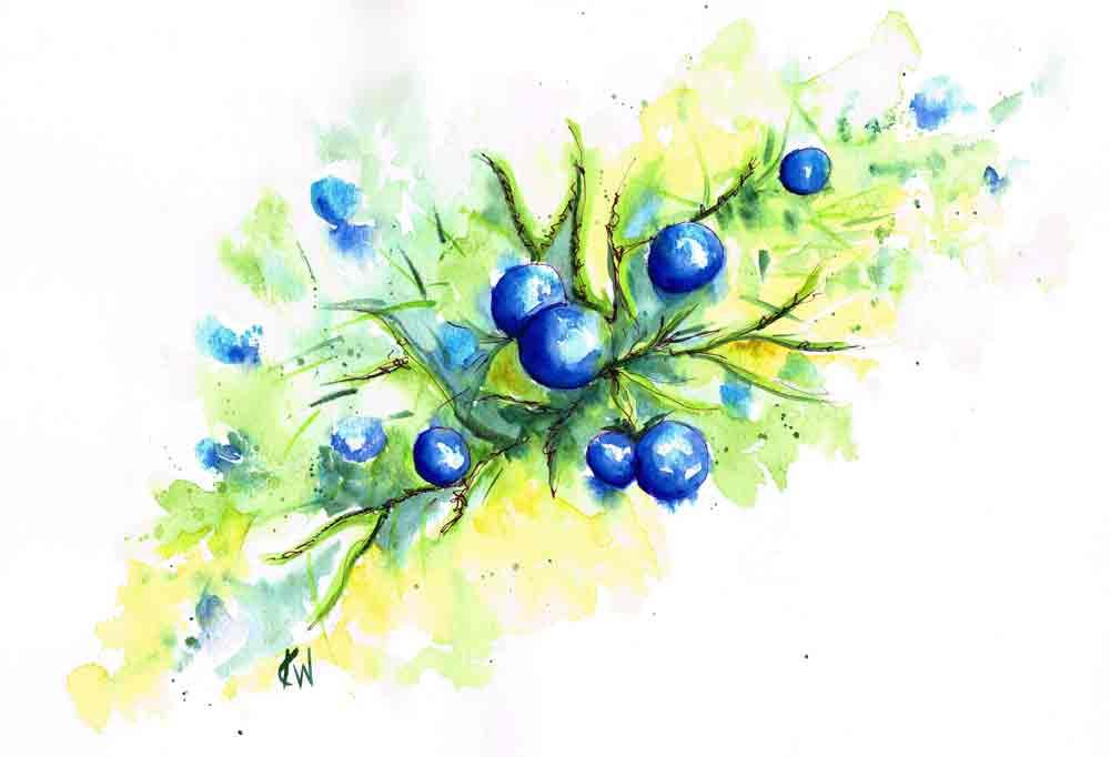 berries-blue-conifer-kw.jpg