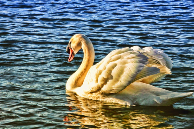how to use tonal values in painting a watercolor swan step by step tutorial