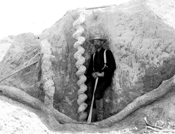 """When puzzling screw-shaped structures (below) were unearthed in Nebraska in the 1890s they were known as """"devil's corkscrews"""" and attributed to freshwater sponges or some sort of coiling plant. They were finally recognized as the burrows of prehistoric beavers only when a fossilized specimen, Palaeocastor, was found inside one.    Futility Closet"""