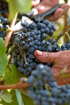 Figure 1:  An elderly Sardinian hand harvests some purple grapes for the village wine. These grapes have some of the highest content of polyphenols that can be found anywhere and is partly attributed to the health benefits of wine from this part of the world.