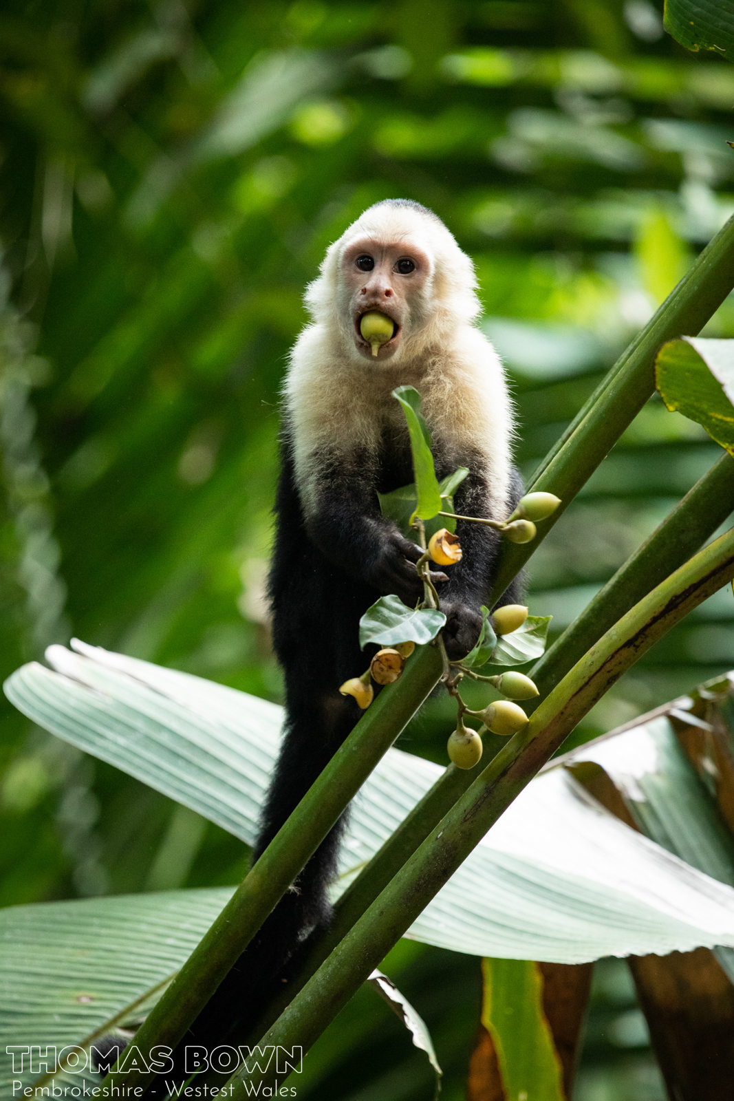 White Faced Capuchin Costa Rica